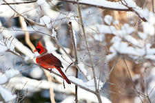 Cardinal in a Snowy Morning