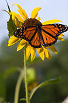 Monarch Butterfly and Sunflower
