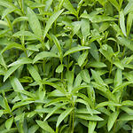 Tarragon or dragon's-wort (Artemisia dracunculus L.)