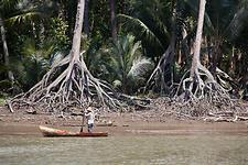 Mangroves at Estero Rico - Panama